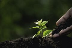 Close up hand of person holding abundance soil to young plant for agriculture or planting peach.  stock image
