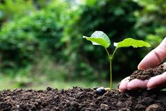 Close up hand of person holding abundance soil to young plant for agriculture or planting peach. stock photo
