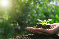 Closeup hand of person holding abundance soil with young plant in hand for agriculture or planting peach nature concept. Close up hand of person holding royalty free stock photos