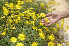 Close up of  a hand picking yellow flowers in full bloom Royalty Free Stock Images