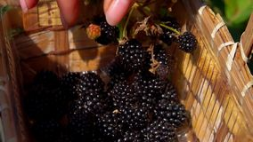 Female hand plucking juicy blackberry in a basket. Close-up of a hand plucking juicy ripe blackberry from a bush branches in a basket of birch bark stock video