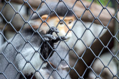 Close up hand of red langur monkey in the cage Stock Image