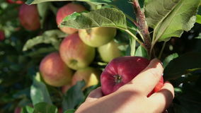 Close-up of a hand torn branches with ripe apples. In the garden stock footage