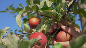 Close-up of a hand torn branches with ripe apples. In the garden stock video footage