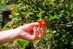 Woman picking red currants royalty free stock photography