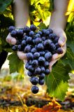 Grape harvest for wine production Royalty Free Stock Photography