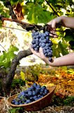 Grape harvest for wine production Royalty Free Stock Images