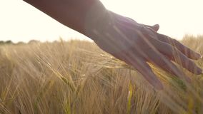 Close Up Woman Farmer Hands Touch Golden Ears Of Wheat In The Field At Sunset stock video footage
