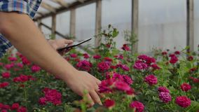 Close-up of hands of a farmer businessman touching the roses and use your fingers to tap on the tablet screen. Checking stock video