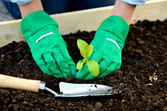 Close-up hands in gloves planting sprout Royalty Free Stock Photo