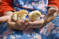 Close up of hands holding chicken Stock Images