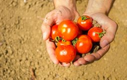 Close up on hands holding fresh tomatoes Royalty Free Stock Images
