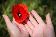 Close up with hands holding a poppy Royalty Free Stock Photos