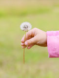 Close up of hands of little girl in pink with white dandelion Stock Image