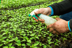 Close up in the hands of a man while spraying the small plants i Stock Photo