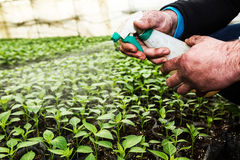 Close up in the hands of a man while spraying the small plants i Stock Images
