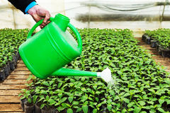 Close up in the hands of a man while spraying the small plants i Royalty Free Stock Photo