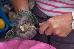Close up of hands opening an oyster, Cancale, France. Close up of hands opening an oyster in Cancale, Brittany, France. In Cancale they have several oyster farms stock image