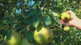 Close-up hands picking of ripe juicy pears. On a tree in the garden during the summer sunny day stock footage