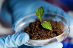 Close up of hands with plant and soil in lab Stock Photo
