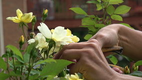Close up of hands pruning yellow roses with shears stock video footage