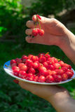 Close up of hands with vintage bowl full of cherries. Female hands holding a plate with red cherries Royalty Free Stock Image