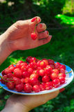 Close up of hands with vintage bowl full of cherries. Female hands holding a plate with red cherries Royalty Free Stock Photography