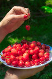 Close up of hands with vintage bowl full of cherries. Female hands holding a plate with red cherries Stock Image