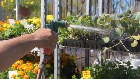 Close-up of hands with watering can watering flowers stock footage
