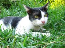 Close up The Handsome Thai Black White Cat in the grass field in royalty free stock image