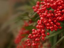 Close-up hanging branch of red berries on nandina domestica plant with blurred background. Close-up macro photograph featuring a hanging branch of clustered red royalty free stock images