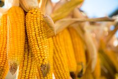 Hanging and drying yellow corn Stock Photography
