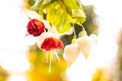 Close up red with fuchsia, against white blur backgrund. Close up hanging red and white fuchsia celia smedley, romantic scene, nice bokeh royalty free stock photography