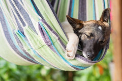 Close up of a happy dog sleeping in striped hammock. Stock Photos