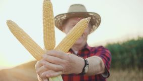 Close-up of happy farmer shows the good corn harvest at camera 4K.  stock footage