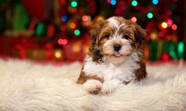 Close up of a happy Christmas Havanese puppy. Close up of a happy Bichon Havanese puppy dog is lying in front of a Christmas tree lights stock photo
