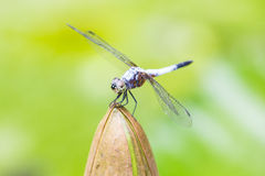 close up of a happy looking dragonfly resting on a flower bud Stock Photos