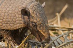 Close-up of a Happy Wild Six-Banded Armadillo Head Royalty Free Stock Images