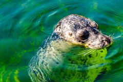 Close up of a Harbor Seal in the water. At Neeltje Jans island, at the Delta Works Surge Barrier in the province of Zeeland in the Netherland stock image