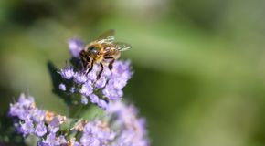 Bee working hard in garden royalty free stock images