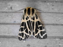 Close-up of Harnessed Tiger Moth Back Stock Image