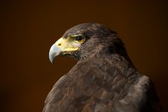 Close-up of Harris hawk with head turned Stock Photos
