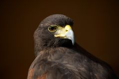 Close-up of Harris hawk looking over shoulder Royalty Free Stock Photo