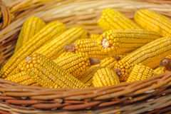 Close up of harvested corn in wicker basket. Freshly picked maize ears in agricultural field, selective focus Royalty Free Stock Image