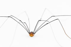 Close up of harvestman 'spider' Stock Photos