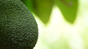 Close up of hass avocado tropical fruit hanging at tree. Hass avocado tropical fruit food hanging of peduncle at branch of tree in a plantation of fruit trees stock video footage