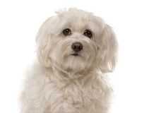 Close-up of a Havanese Stock Photo