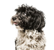 Close-up of Havanese looking away from camera Royalty Free Stock Images