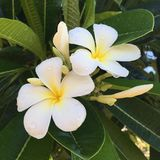 Close up of Hawaiian flower. Close up of white and yellow Hawaiian flower on a tree Royalty Free Stock Photo
