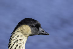 Close up of a Hawaiian Goose (Nene) with copy space. Close up of a nene (Branta sandvicensis), also known as nēnē and Hawaiian goose. Shown in profile and Stock Image